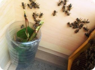 Bienen am Zuckersirup