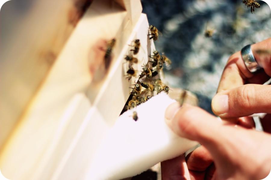 Endlich dürfen sie fliegen! Am neuen Heimatstandort werden die Bienen endlich rausgelassen